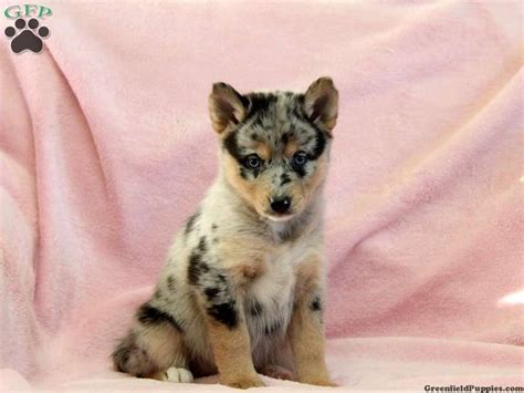 pomsky puppies for sale in 17 best ideas about pomsky puppies for sale on pomsky for sale pomsky