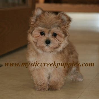 morkie puppies for sale in california morkie puppies www pixshark images galleries with a bite