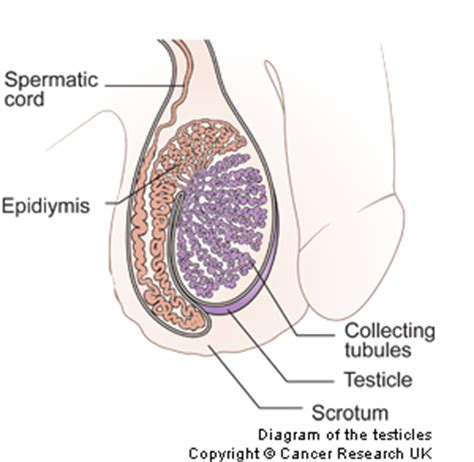 checking for testicular cancer diagram keating testicular cancer keating