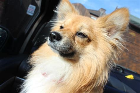 pomeranian mixed with papillon sky the paperanian papillon pomeranian hybrid breeds picture