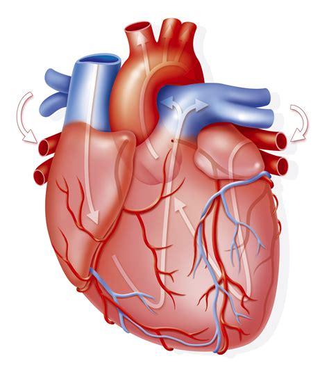 imagenes de corazones organo el coraz 243 n y sus partes