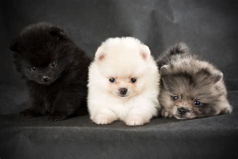 puffball puppy get to the pomeranian the world s cutest puffball
