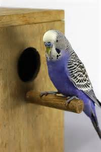 parakeet colors the of the budgerigar colors mutations and more