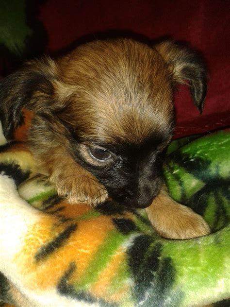 chihuahua x yorkie puppies for sale terrier x chihuahua puppies for sale addlestone surrey pets4homes
