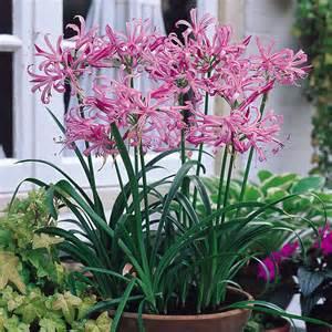 Planting Pots For Sale buy nerine bowdenii j parker dutch bulbs