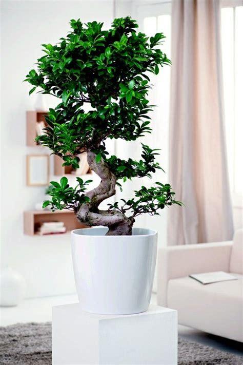 wohnzimmer pflanzen wohnzimmer pflanzen birkenfeige zimmerb 228 umchen