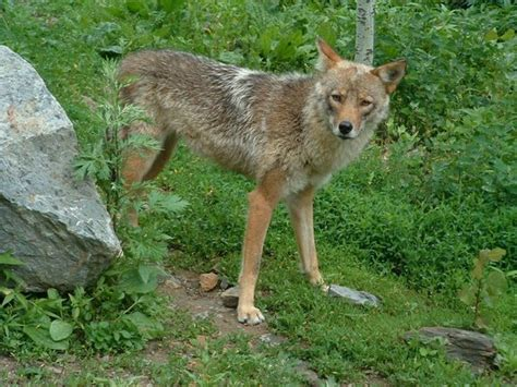 coyote mix what is a coywolf coyote wolf hybrid