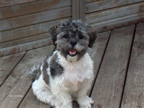 ShihPoo Information, Pictures, Reviews and Q&A ...