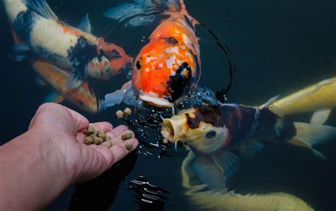 Pelet Ikan Apung ini cara membuat pelet ikan apung yang mengapung