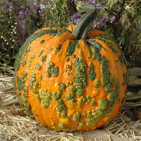 pumpkin warty goblin  harris seeds