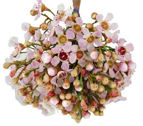 light pink wax flower favorite waxflower varieties botanical brouhaha