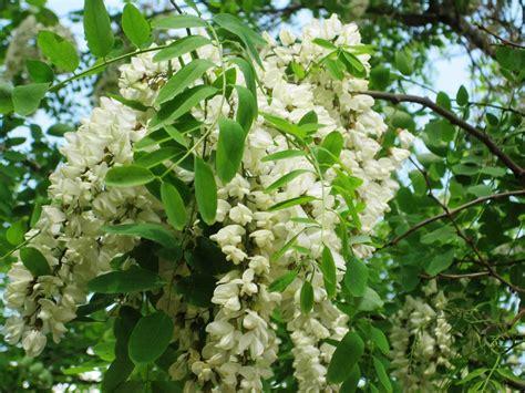 gaggia fiore acacia il fiore buono da mangiare e che fa bene