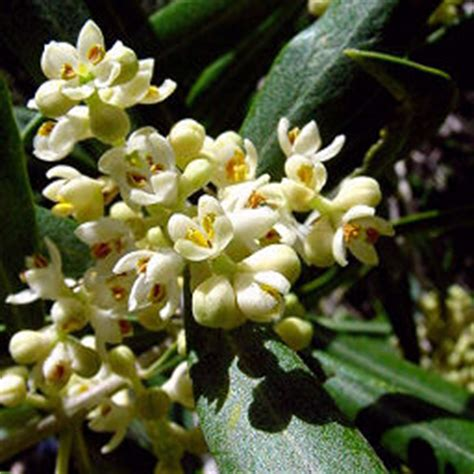fiori di olivo oleificio corneli g g g