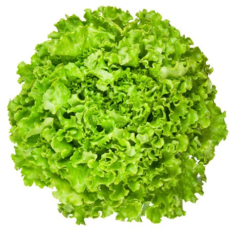 is lettuce bad for dogs lettuce free clip free clip on clipart library