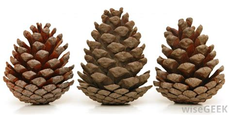 with pine cones what is a pine cone with pictures