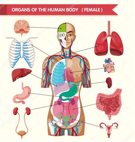 imagenes sorprendentes cuerpo humano 211 rganos del esquema del cuerpo humano archivo im 225 genes