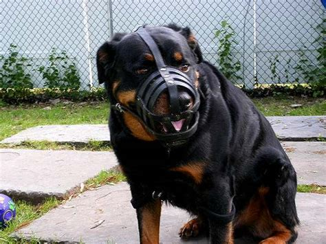 rottweiler bite strength rottweiler bite www imgkid the image kid has it