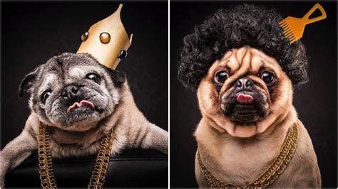 what are pugs known for aussie pugs are being turned into rappers by the pug project feeds