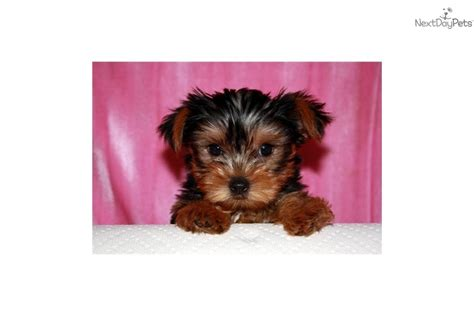 yorkie micro teacup yorkie puppy for sale breeds picture