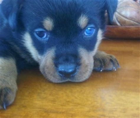 are all puppies born with blue rottweiler breed pictures 1