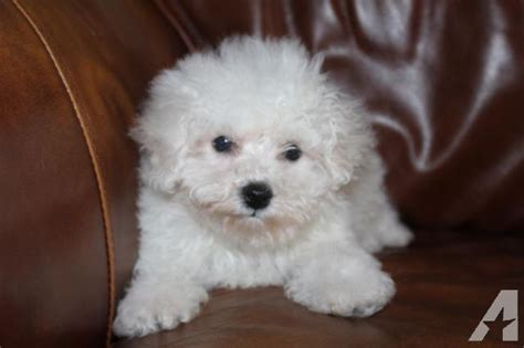 bichon frise puppies for sale ohio bichon puppies for sale in harmon ohio classified americanlisted