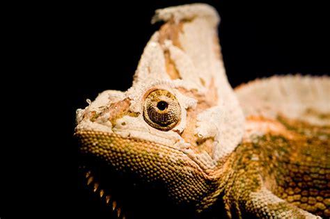 Shedding Lizard by Shedding Chameleon Stock Photo Image Of Chameleon Scale 6975634