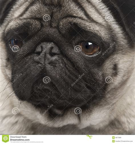 4 year pug pug 4 years royalty free stock images image 5877899