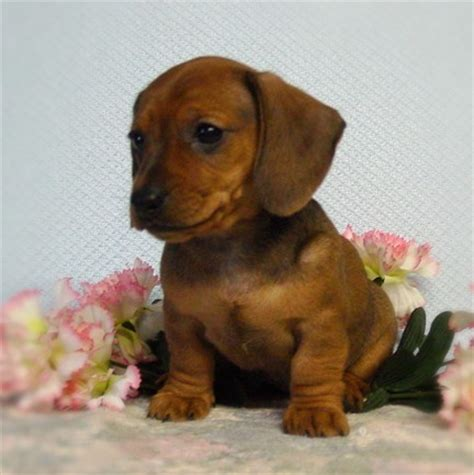 dachshund puppies ohio mini dachshunds in ohio from diamant s puppies for sale