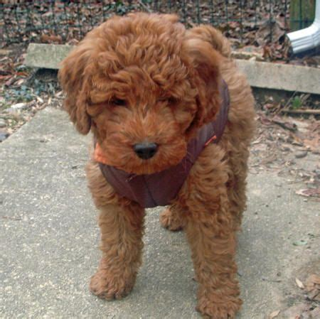 mini goldendoodle how big do they get miniature goldendoodle this will be our