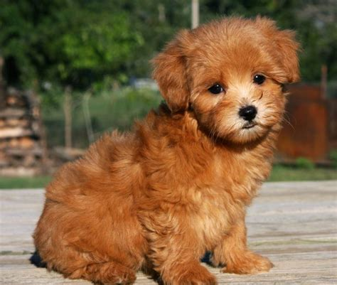 brown maltipoo puppies teacup maltipoo be mine friends puppys and so