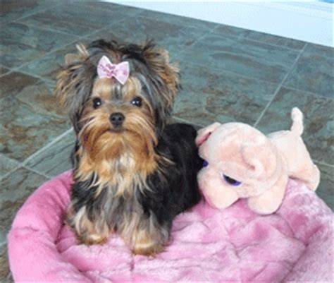 yorkie breeders in canada terrier breeder in canada on edoglovers