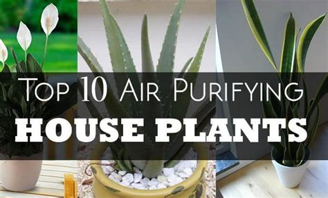 Plants That Detox The Air by Top 10 Air Purifying Indoor House Plants And