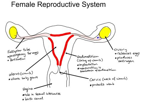 diagram reproductive system reproductive system diagram 28 images archives junior