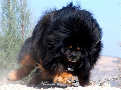 anjing terganas sunday morning 10 anjing terganas di dunia