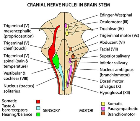 brain stem diagram neuroanatomy mistryland