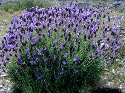 shrubs and lavender on - Shrub With Purple Cone Shaped Flowers