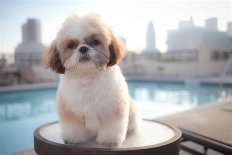 shih tzu grooming guide what you should about grooming a shih tzu shihtzu wire