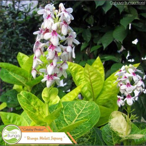 tanaman melati jepang shopee indonesia