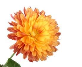 Facts About Daisy Flowers chrysanthemum varieties grower direct fresh cut flowers