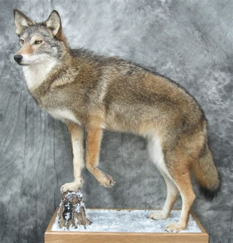 Coyote Rug Lifesize Mounts Bobcat Lynx Bear Coyote Fox Bear Deer