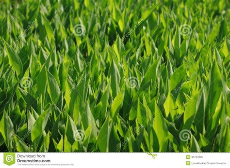 bright green foliage plants foliage of hosta royalty free stock image image 31767896