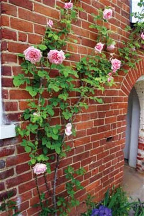 Wall Climbing Plants For Your Garden Self Directed Wall Climbing Plants Jo Waine