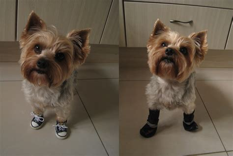 boots for yorkies yorkie coco is modeling summer sneakers and winter boots dogs wearing