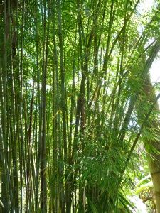 charlies bamboo  invasive clumping bamboo plant
