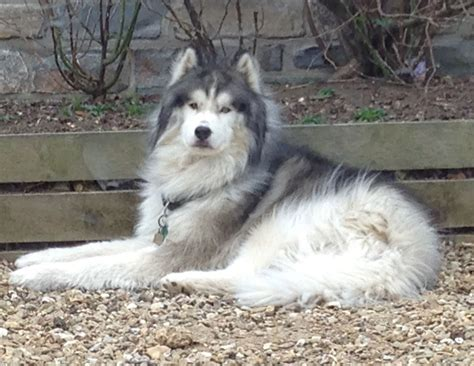 wolf for sale gorgeous wolf grey for sale martock somerset pets4homes