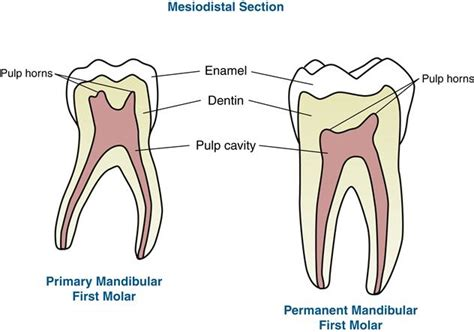 permanent teeth diagram illustration 18 primary dentition pocket dentistry
