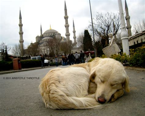 Photograph Istanbul Golden Retriever Blue By Aristotlethrottle