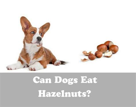 can dogs eat dogs can dogs eat hazelnuts are hazelnuts bad for dogs alldogsworld