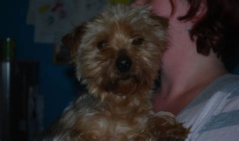 alvin yorkies alvin 2 year terrier for adoption
