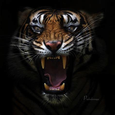 Koas 3dharimau 7 Hitam impresionantes e incre 237 bles imagenes de tigres taringa